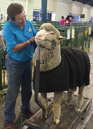 Sheep Show | Black Sheep Gathering
